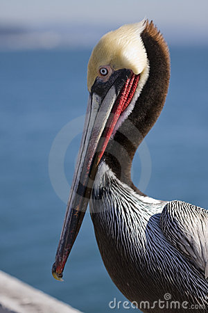 Free Pelican Royalty Free Stock Images - 4292679