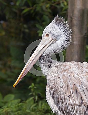 Free Pelican Stock Image - 44159521