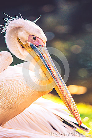 Free Pelican Stock Photography - 62013222