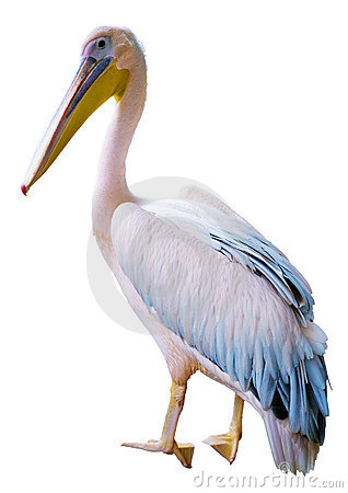Free Pelican Stock Images - 8277004
