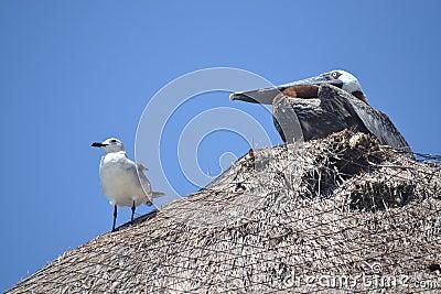 Pelican Albatros birds fauna tropical yucatan exot