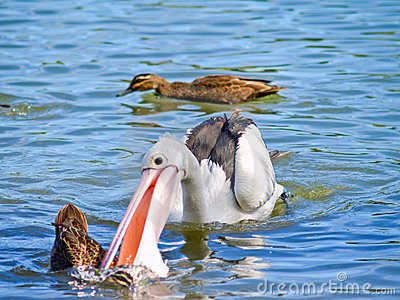 Pelican attacking a wild duck in the water