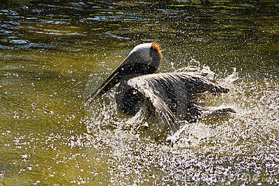 Pelican splashing