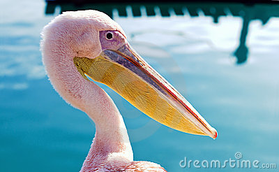 Pelican in the bay