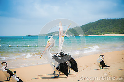 Pelican on the beach, Moreton Island, Australia