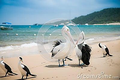 Pelican on the beach, Moreton Island, Australia