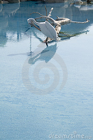 Pelican bird in lake