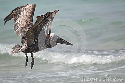 Pelican birds fauna tropical yucatan exotic Mexico