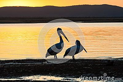Pelican Birds Lagoon Sunset
