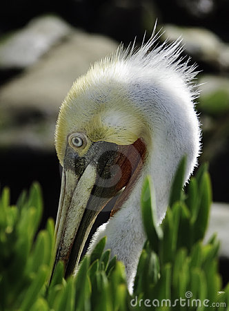 Pelican in Breeding Plumage, California