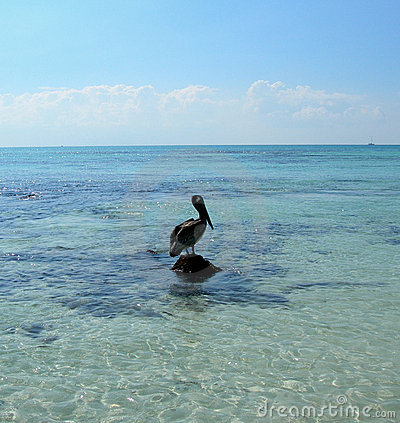 Pelican in the Caribbeans