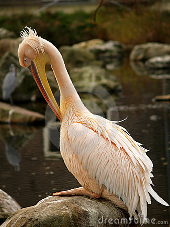 Free Pelican Cleaning Itself Royalty Free Stock Photography - 1588207