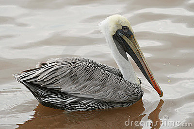 Pelican on Dark Water