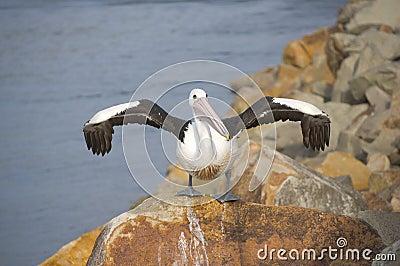 Pelican drying it s wings