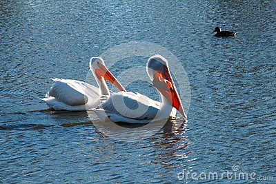 Pelican stock photo image 49487099 for Dreaming of eating fish