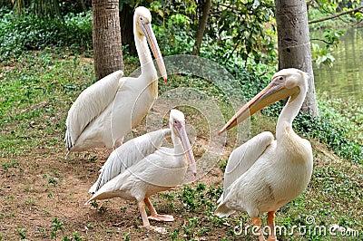 A pelican familiy