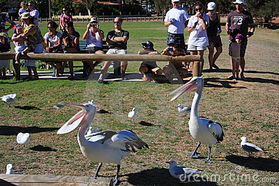 Pelican Feeding - Kalbarri Editorial Stock Photo