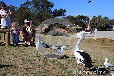 Pelican Feeding - Kalbarri Editorial Image