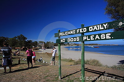 Pelican Feeding - Kalbarri Editorial Photography