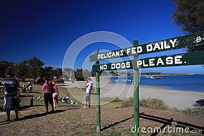 Pelican Feeding - Kalbarri Editorial Photography