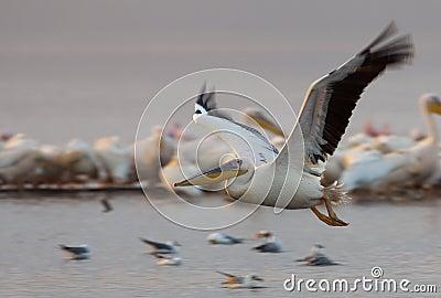 Pelican In Flight