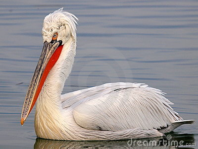 Pelican floating on water