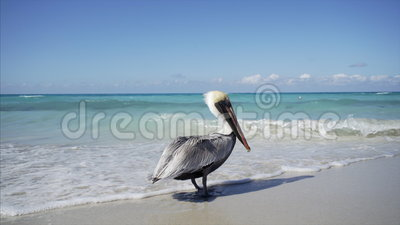 Pelican fly away. Pelican stay on the coast line and fly away stock video