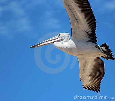 Pelican in Full Flight