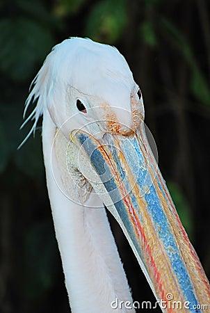 Free Pelican Head Royalty Free Stock Photo - 20233765