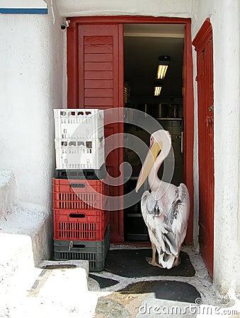 Pelican intruder. Mykonos, Greece