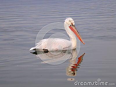 Pelican in lake
