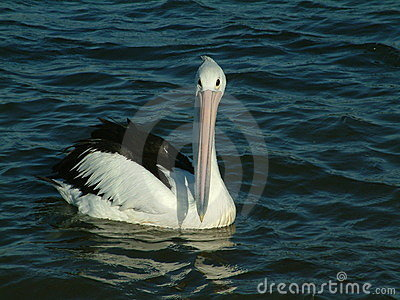Pelican on lake