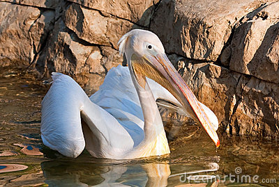 Pelican landing on a pond in a zoo