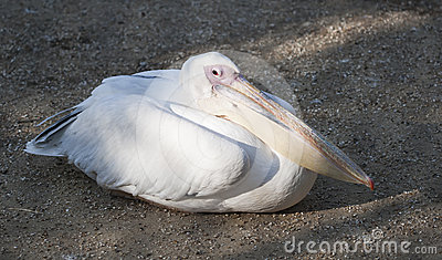 Pelican laying in the sand