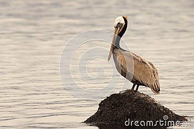 Pelican On Ocean Rock