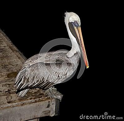 Pelican on the peer 1