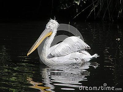 Pelican (Pelecanus crispus)