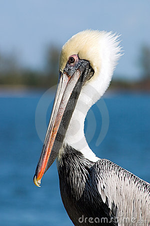Free Pelican Portrait Stock Photo - 378480