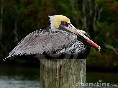 Pelican portrait side breeding colors