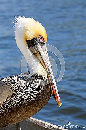 Pelican portrait side breeding colors