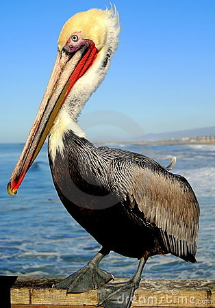Free Pelican Pose Royalty Free Stock Image - 12690026