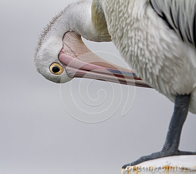 Free Pelican Preening Stock Images - 37630594