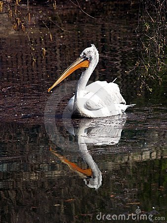 Pelican reflected on lake