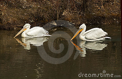 Pelican reflections