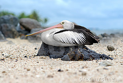 Pelican rest on a rock