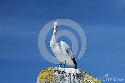 Pelican on the Rock