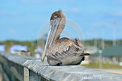 Pelican sitting on handrail