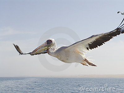 Pelican in the sky