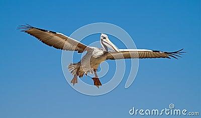Pelican in the sky
