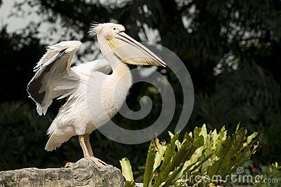Pelican spreading its wings